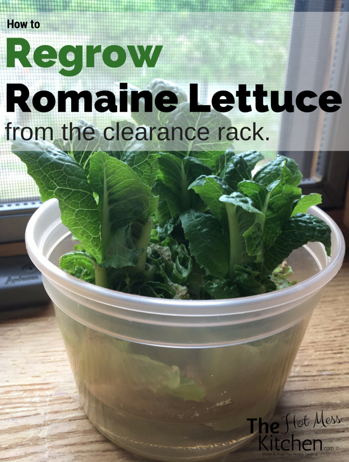 How to regrow romaine lettuce from the clearance rack.